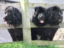 Black newfoundland dogs looking through wooden fence in Ireland. Black newfoundland dogs looking through wooden fence Ireland stock images