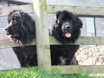 Black newfoundland dogs looking through wooden fence in Ireland. Black newfoundland dogs looking through wooden fence Ireland royalty free stock photo