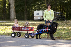 Newfoundland Draft Dog Giving A Wagon Ride. A woman walks a draft trained Newfoundland dog that is giving a wagon ride to a small child and her little Havanese stock photos