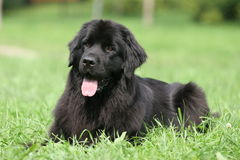 Newfoundland on grass. Black newfoundland laying on grass Royalty Free Stock Photo