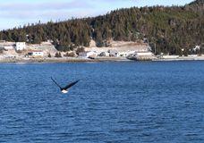 Newfoundland Harbor Harbour Bald Eagle royalty free stock images