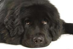 Newfoundland hund arkivbild