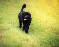 Newfoundland hund royaltyfri fotografi