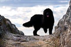 Newfoundland hund Arkivfoton