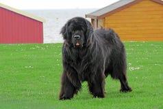 Newfoundland hund Arkivfoto
