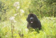 Newfoundland hund Fotografering för Bildbyråer