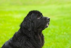 Newfoundland hund i profil Royaltyfri Bild