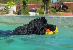 Newfoundland hund i simbassäng Royaltyfri Foto