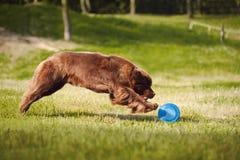 Newfoundland hund som fångar frisbeen Fotografering för Bildbyråer