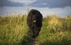 Newfoundland hund som kör till kameran Arkivbild