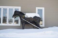 Newfoundland järnhäst Royaltyfria Bilder