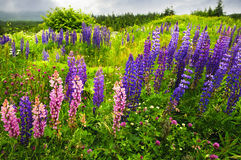 Newfoundland landscape with lupin flowers. Newfoundland wilderness landscape with purple lupin flowers Royalty Free Stock Images