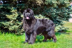 Newfoundland looks in camera. The Newfoundland is on the grass in the park stock photography