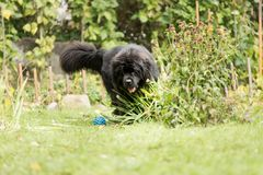 Newfoundland is playing with a ball. Royalty Free Stock Images