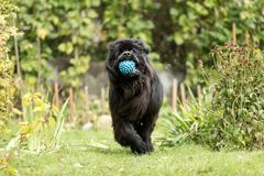 Newfoundland is playing with a ball. royalty free stock image