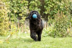 Newfoundland is playing with a ball. Stock Images