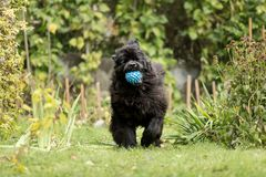 Newfoundland is playing with a ball. Stock Photos