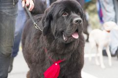 Newfoundland big dog Royalty Free Stock Photography