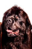 Newfoundland. Portrait of a newfoundland on a white background Royalty Free Stock Images