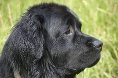 Newfoundland Profile Royalty Free Stock Photography