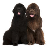 Newfoundland puppies, 5 and 30 months old Stock Photography