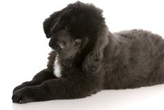 Newfoundland puppy. Laying down - twelve weeks old stock photo
