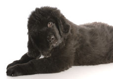Newfoundland puppy Stock Photos