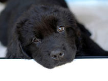 Newfoundland puppy. Black Newfoundland Puppy with white space Stock Images