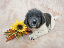 Newfoundland Puppy Royalty Free Stock Image