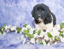 Newfoundland Puppy Stock Image