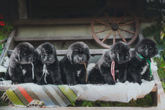 Newfoundland puppy, black, woolen Stock Photos