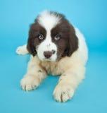 Newfoundland Puppy Royalty Free Stock Photos