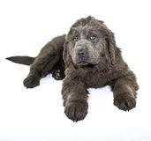 Newfoundland Puppy Stock Photography