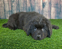 Newfoundland Puppy Royalty Free Stock Photos