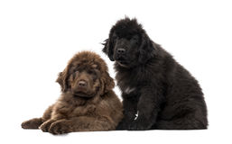 Newfoundland puppy, Newfoundland isolated on white Stock Photos