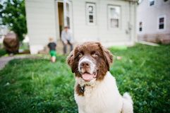 Newfoundland Puppy. Playing with a toy stock image