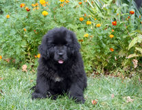 Newfoundland puppy. Sitting on grass in park Stock Photography