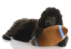 Newfoundland puppy with stuffed toy. Newfoundland puppy playing with stuffed football - twelve weeks old Royalty Free Stock Photos