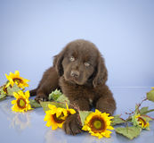 Newfoundland Puppy Royalty Free Stock Images