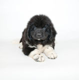 Newfoundland Puppy. A very cute Newfoundland puppy laying on a white background royalty free stock image