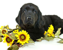 Newfoundland Puppy. Very sweet Newfoundland puppy laying down with sunflowers around her , on a white background stock photography