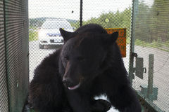 Newfoundland svart björn Arkivfoto