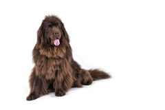 Newfoundland terrier. A pedigree Newfoundland terrier on a white background Royalty Free Stock Photography