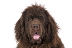 Newfoundland terrier. A pedigree Newfoundland terrier on a white background Royalty Free Stock Photos