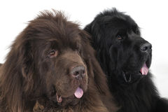 Newfoundland terriers. High key portrait of two Newfoundland terriers on a white background Stock Photography