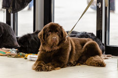Newfoundland terriers Stock Photo