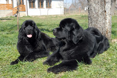Newfoundland. Two Newfoundland dogs are lying on the grass stock photo