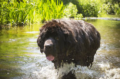 Newfoundland walking in a river stock image