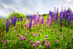 newfoundland wildflowers różowi purpurowi Obrazy Royalty Free