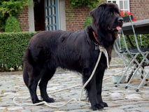 Newfoundlander-Hund Lizenzfreies Stockfoto